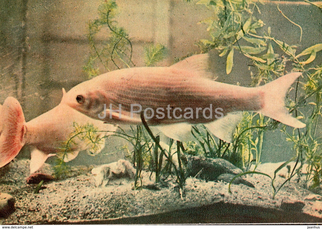 Ide - Leuciscus idus - fish - Riga Zoo - old postcard - Latvia USSR - unused - JH Postcards