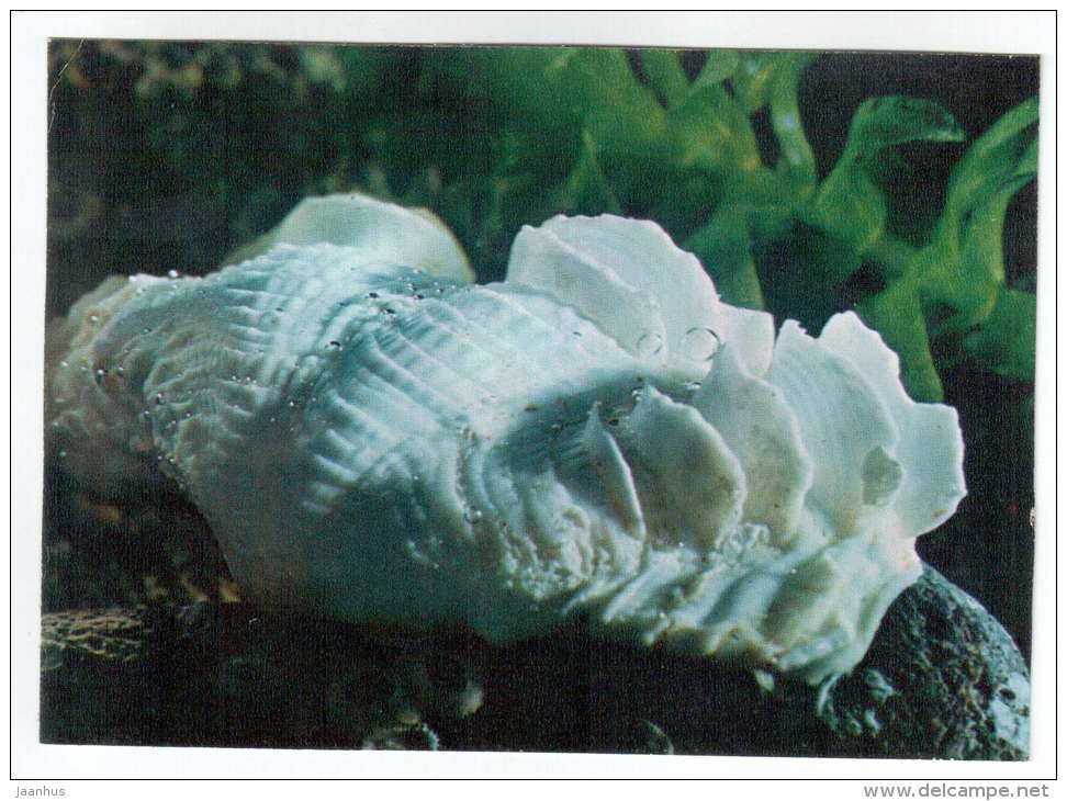 Fluted giant clam - Tridacna Squamosa - shells - clams - mollusc - 1974 - Russia USSR - unused - JH Postcards