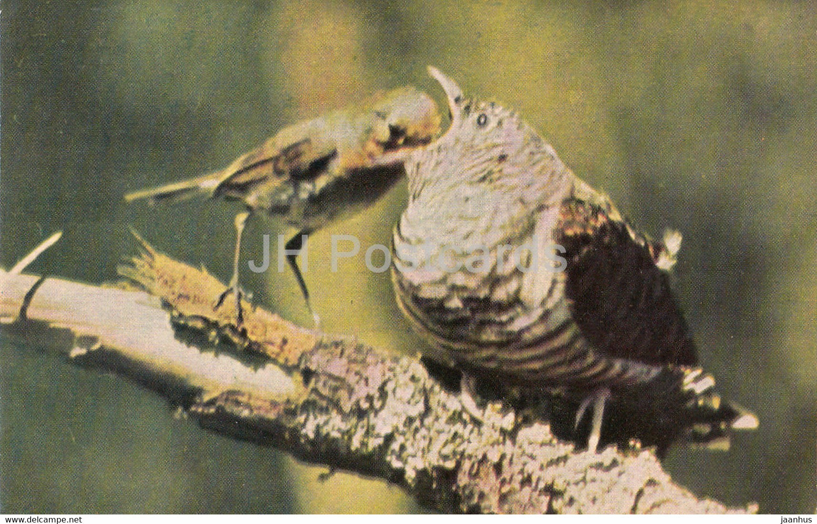 European robin - Erithacus rubecula - birds - 1968 - Russia USSR - unused - JH Postcards