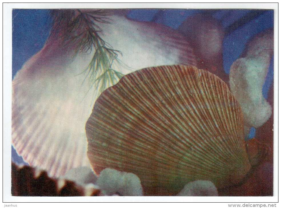 Noble Scallop - Chlamys nobilis - shells - clams - mollusc - 1974 - Russia USSR - unused - JH Postcards