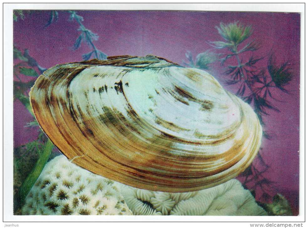 Margaritifera Dahurica - shells - clams - mollusc - 1974 - Russia USSR - unused - JH Postcards