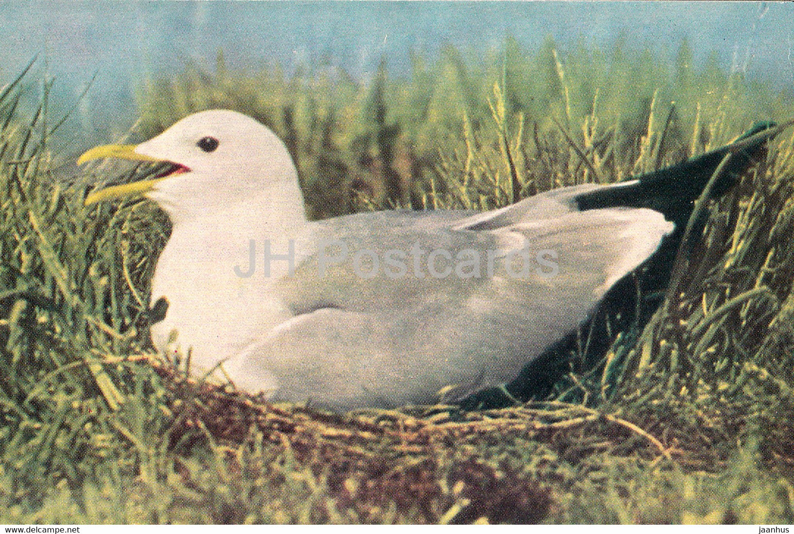 Common gull - Larus canus - birds - 1968 - Russia USSR - unused - JH Postcards
