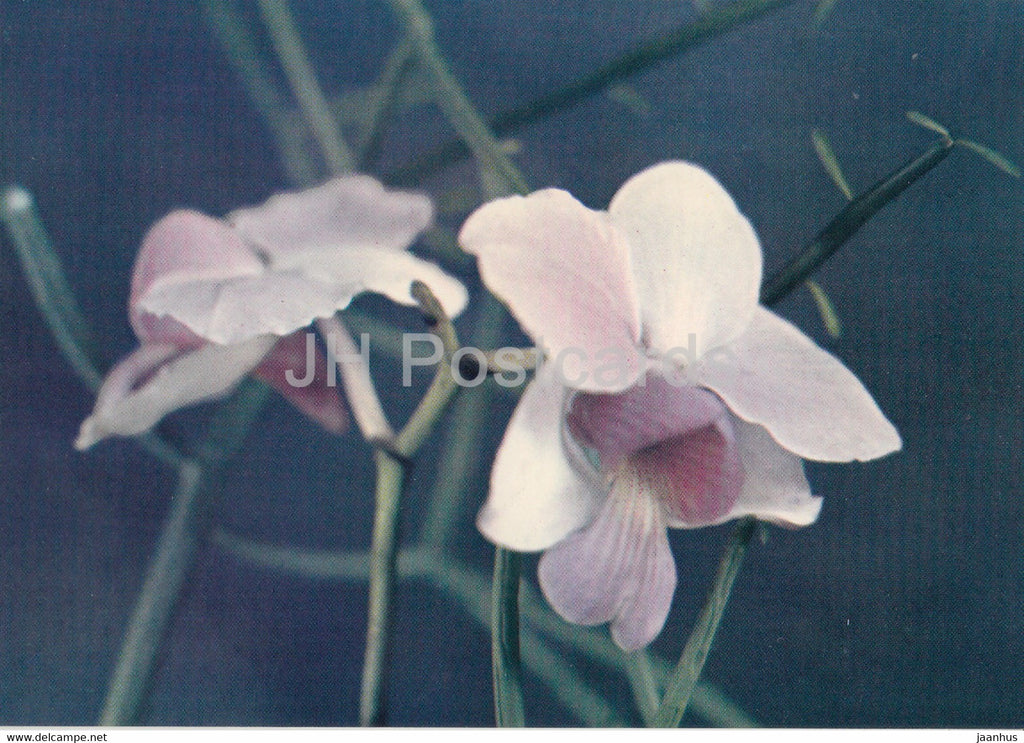 Orchid - Phong Lan - rose - flowers - Vietnam - unused - JH Postcards