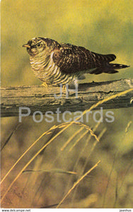 Common cuckoo - Cuculus canorus - birds - 1968 - Russia USSR - unused - JH Postcards