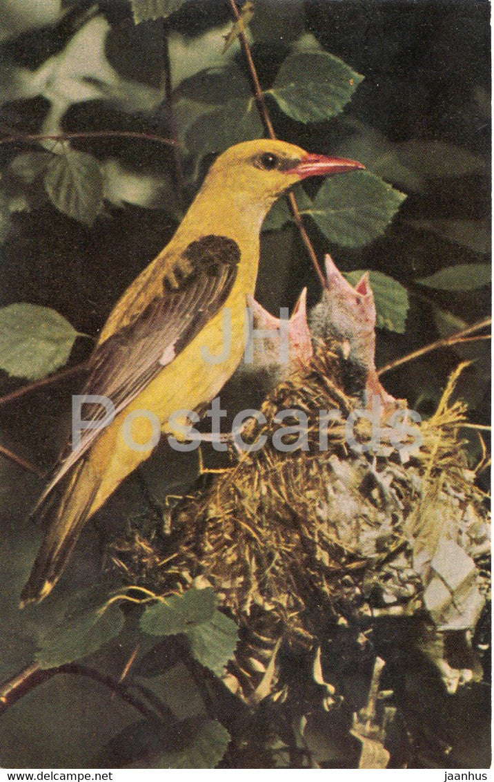 Eurasian golden oriole - Oriolus oriolus - birds - 1968 - Russia USSR - unused - JH Postcards