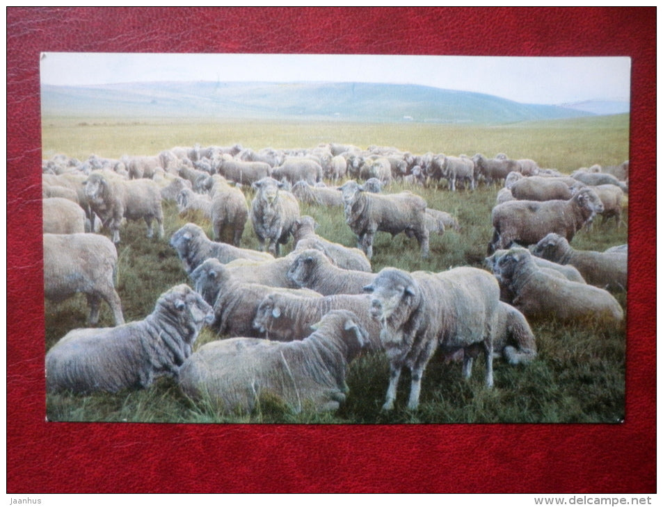 a flock of breeding rams - Hakasiya - Khakassia - 1970 - Russia USSR - unused - JH Postcards