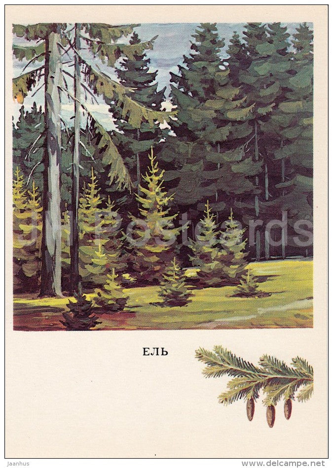 Fir Tree - Abies - Russian Forest - trees - illustration by G. Bogachev - 1979 - Russia USSR - unused - JH Postcards