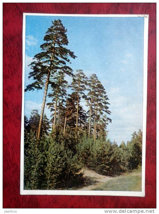 Nature - pine trees - 1965 - Russia - USSR - used - JH Postcards