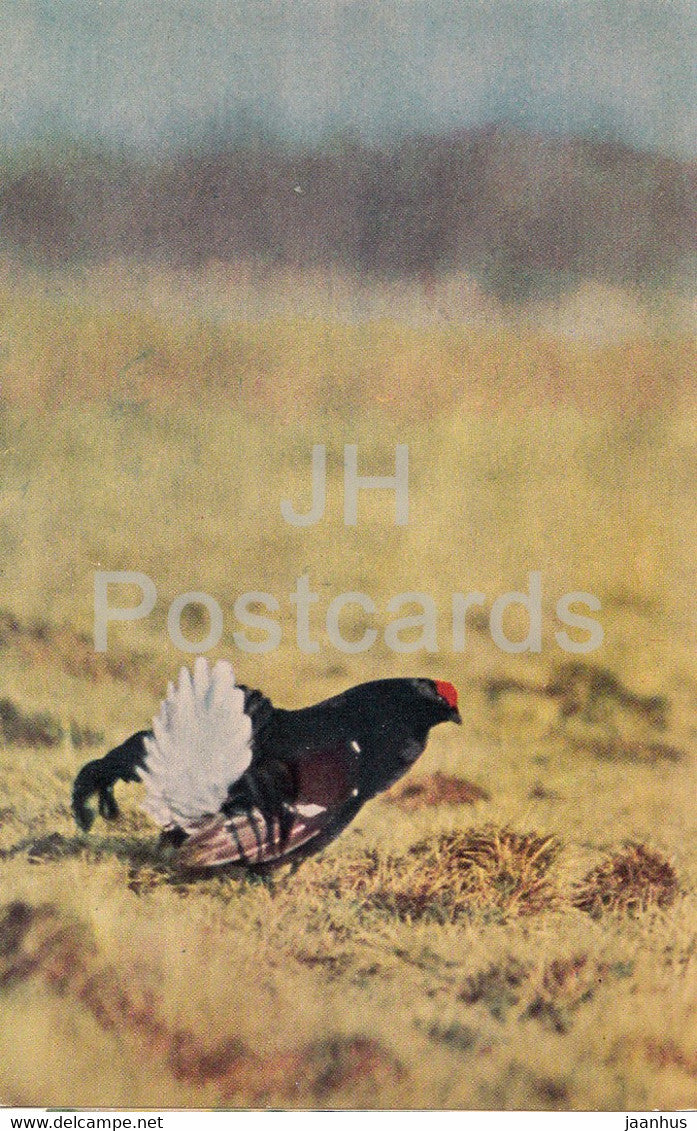 Black grouse - Lyrurus tetrix - birds - 1968 - Russia USSR - unused - JH Postcards
