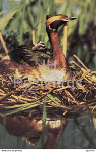 Horned grebe - Podiceps auritus - birds - 1968 - Russia USSR - unused - JH Postcards