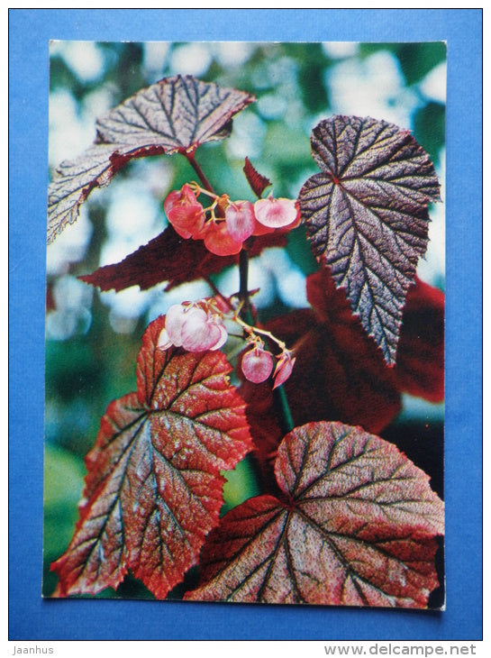 Begonia Arthur Mallet - flowers - Botanical Garden of the USSR - 1973 - Russia USSR - JH Postcards