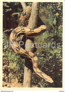 Boa - reptiles - Moscow Zoo - 1963 - Russia USSR - unused - JH Postcards