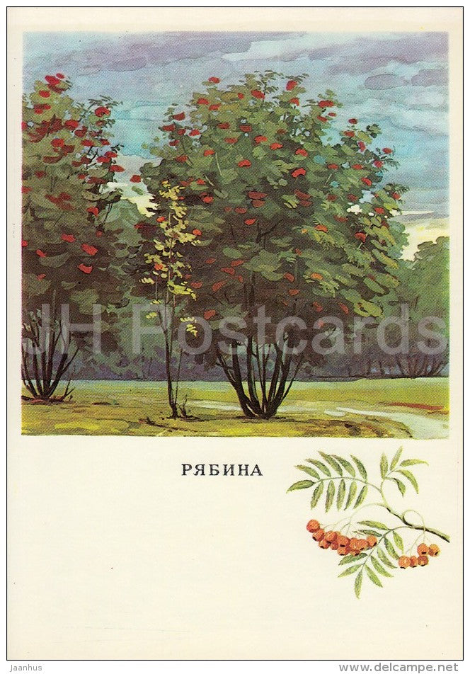 Rowan - Sorbus - Russian Forest - trees - illustration by G. Bogachev - 1979 - Russia USSR - unused - JH Postcards