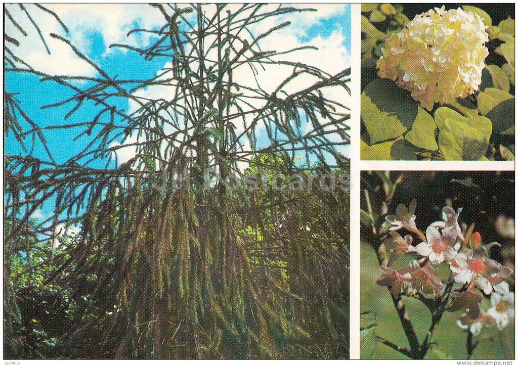 Norway spruce , Picea abies - Hydrangea cinerea - Weigela hybrida  Moscow Botanical Garden - 1988 - Russia USSR - unused - JH Postcards