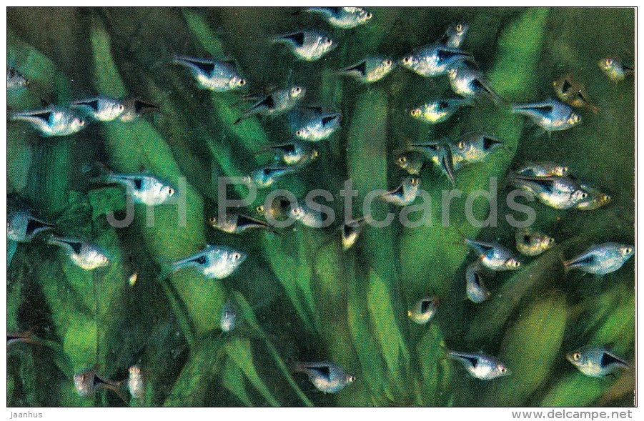 Harlequin rasbora , Rasbora heteromorpha - Aquarium Fish - Russia USSR - 1971 - unused - JH Postcards