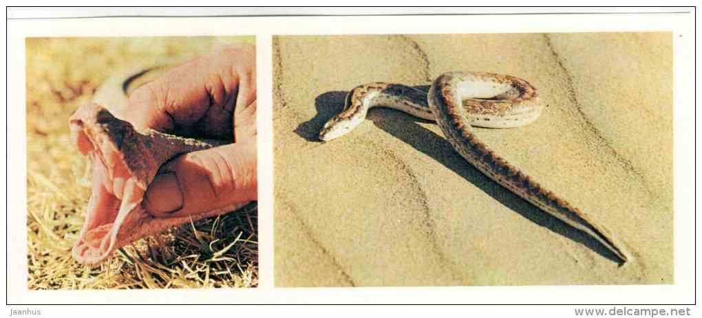 Snakes - reptile - Badhyz State Nature Reserve - 1981 - Turkmenistan USSR - unused - JH Postcards