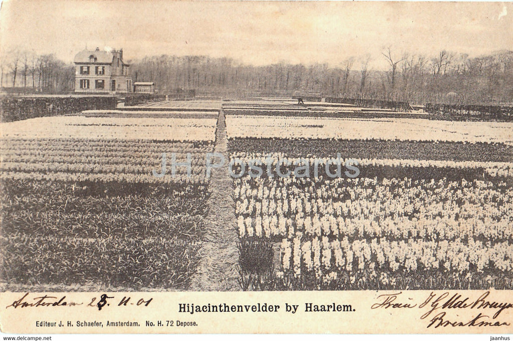 Hijacinthenvelder by Haarlem - hyacinth flower field - old postcard - 1901 - Netherlands - used - JH Postcards