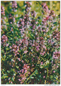 Breckland thyme - Thymus serpyllum - Medicinal Plants - Herbs - 1980 - Russia USSR - unused - JH Postcards