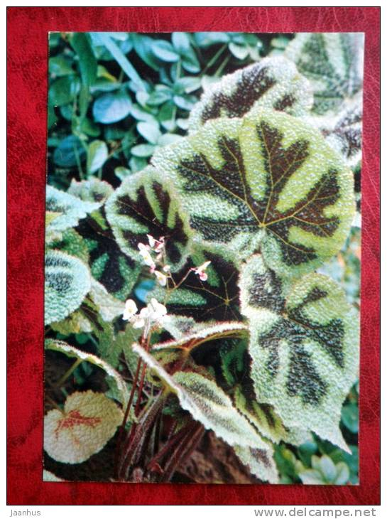 Iron Cross - Begonia masoniana - flowers - 1987 - Russia - USSR - unused - JH Postcards