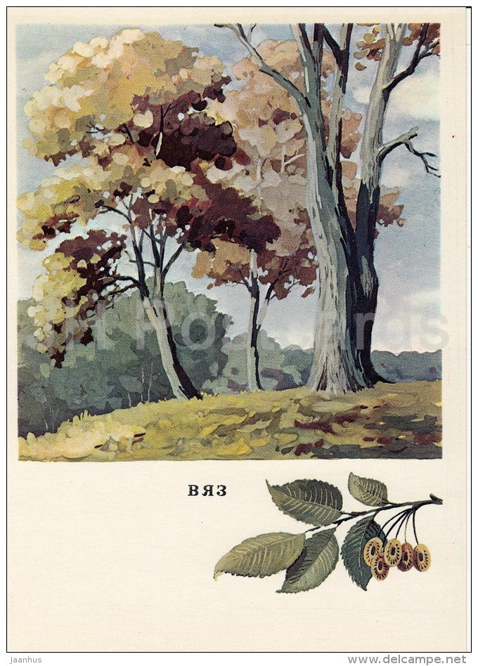 Elm - Ulmus - Russian Forest - trees - illustration by G. Bogachev - 1979 - Russia USSR - unused - JH Postcards