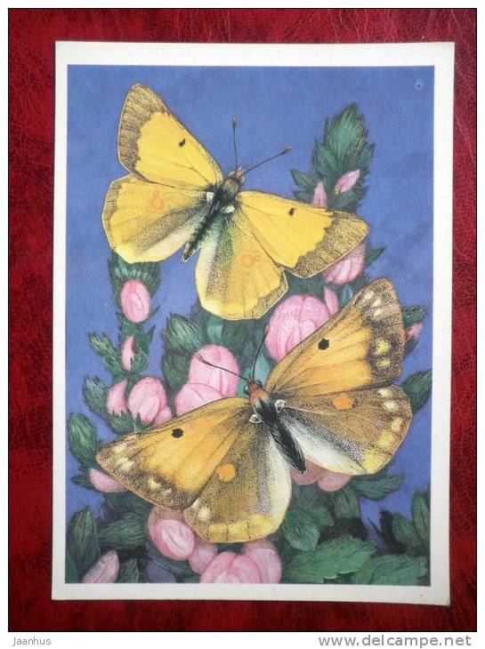 Colias thisoa - butterflies - 1986 - Russia - USSR - unused - JH Postcards