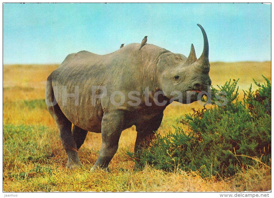 Black Rhinoceros - Rhinoceronte Nero - Africa - animals - 396 - Italy - unused - JH Postcards