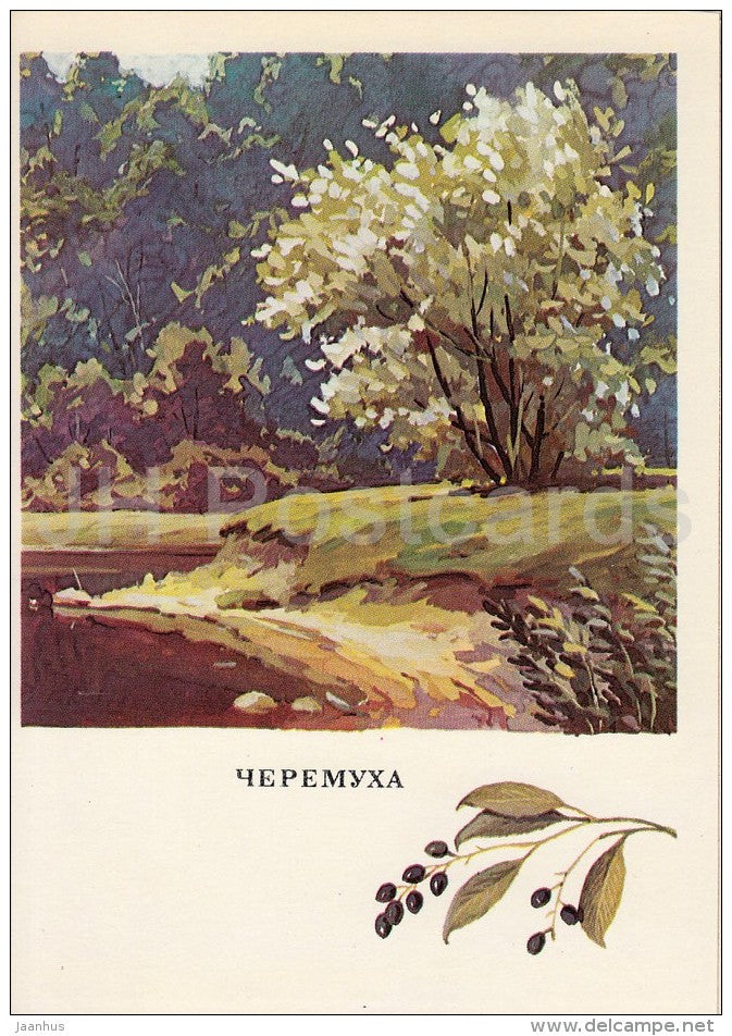 Bird-Cherry - Prunus padus - Russian Forest - trees - illustration by G. Bogachev - 1979 - Russia USSR - unused - JH Postcards