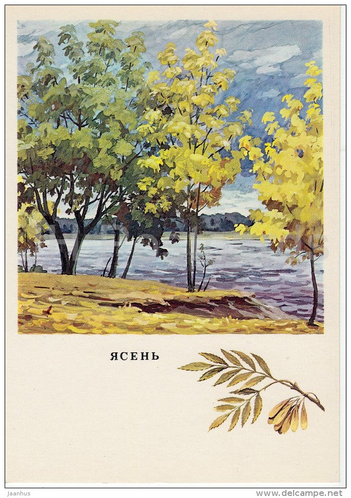 Ash - Fraxinus - Russian Forest - trees - illustration by G. Bogachev - 1979 - Russia USSR - unused - JH Postcards