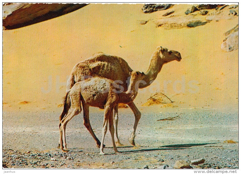 Dromedary - Camelus dromedarius - Africa - animals - 396 - Italy - unused - JH Postcards