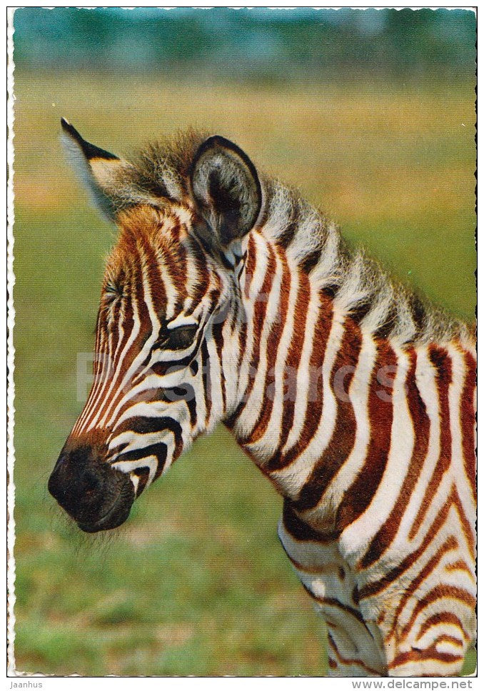 Grant's zebra - Equus quagga boehmi - Africa - animals - 396 - Italy - unused - JH Postcards