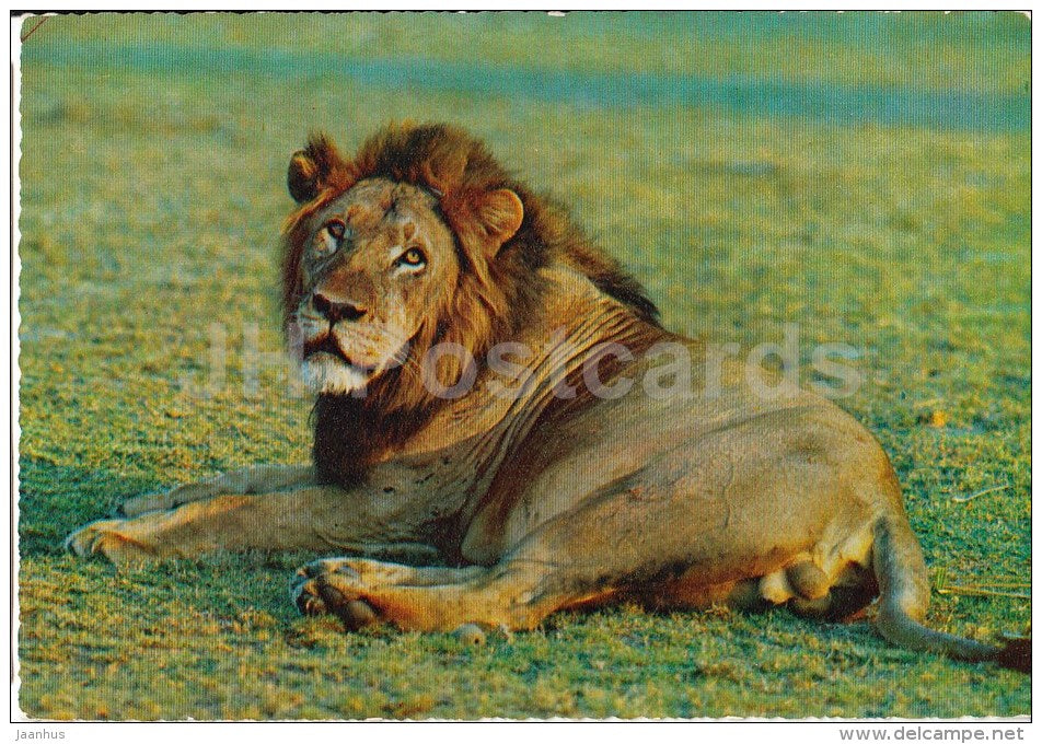 Lion - Africa - animals - 396 - Italy - unused - JH Postcards