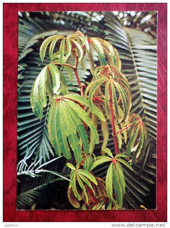 Palm-leaf Begonia - Begonia luxurians - flowers - 1987 - Russia - USSR - unused - JH Postcards