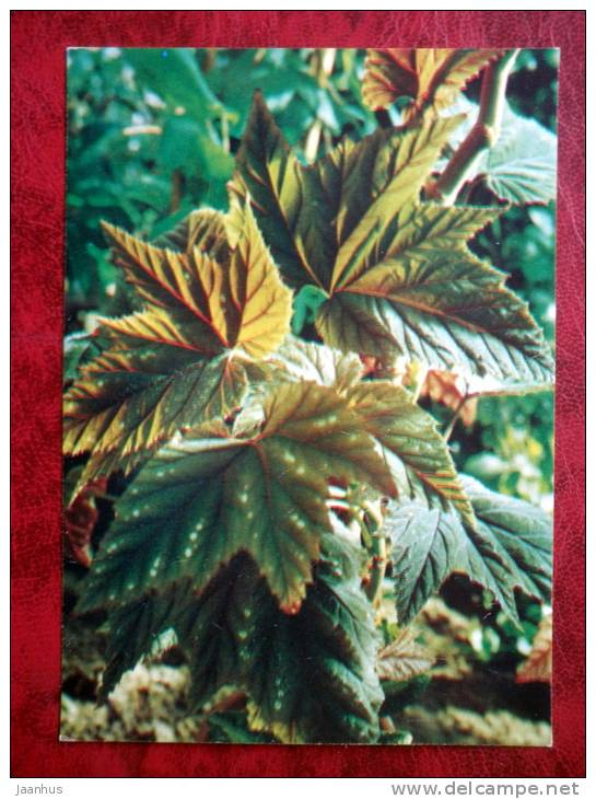 Begonia olbia - flowers - 1987 - Russia - USSR - unused - JH Postcards