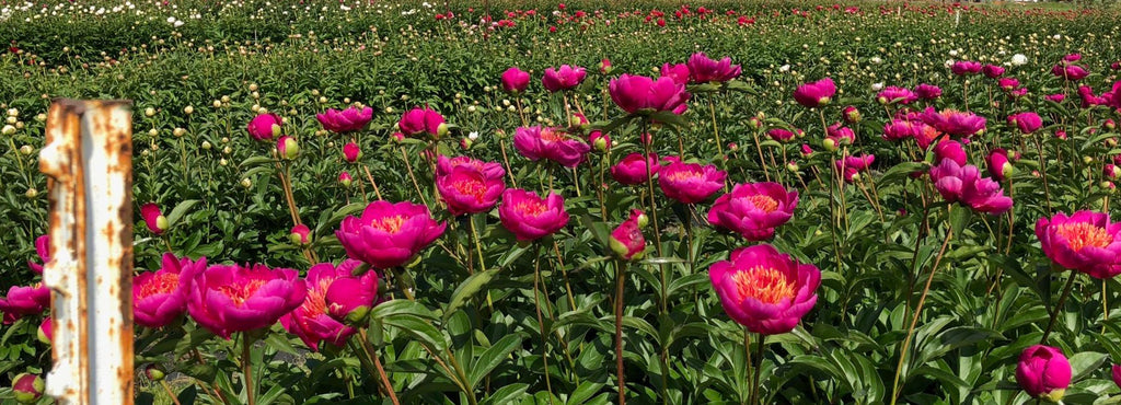 Peony Planting And Care Pure Peonies