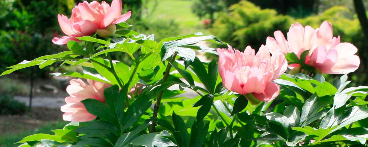 Pure Peonies Japanese & Itoh Plants