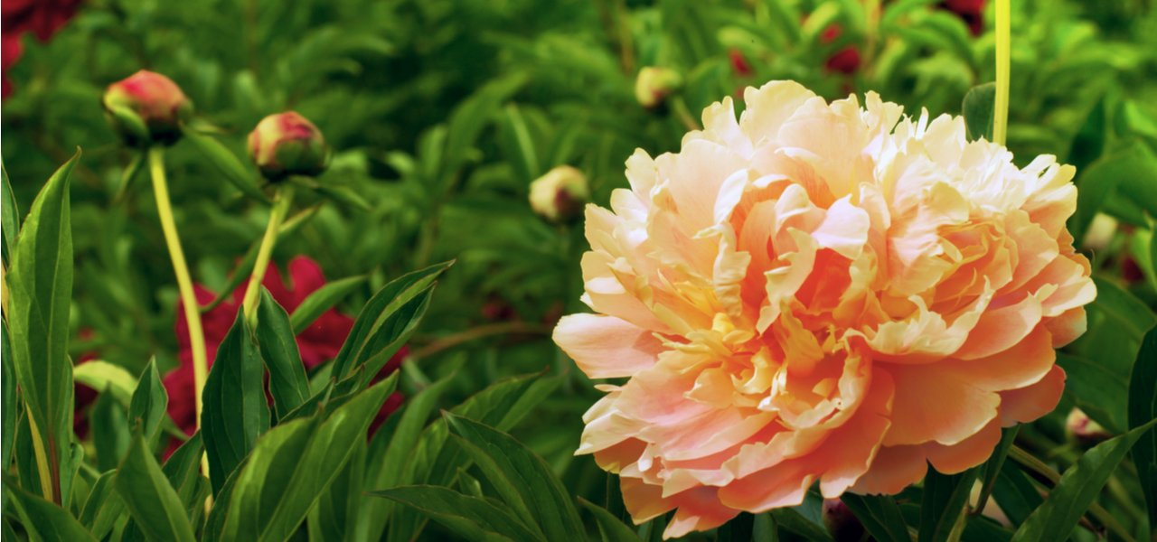 Pure Peonies Herbaceous Plants
