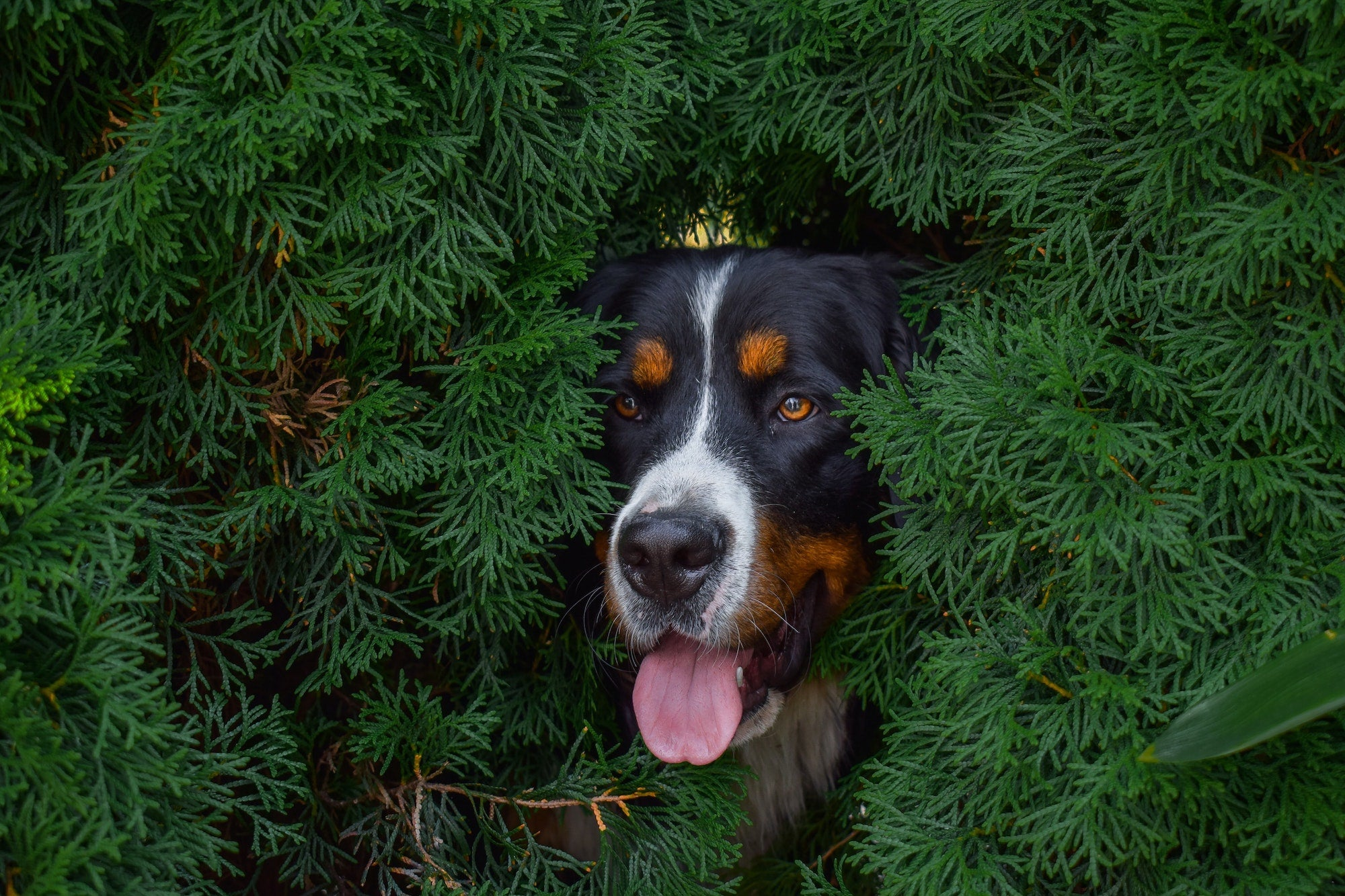 panting-bernese-mountain-dog-outside-with-nature-woods-background