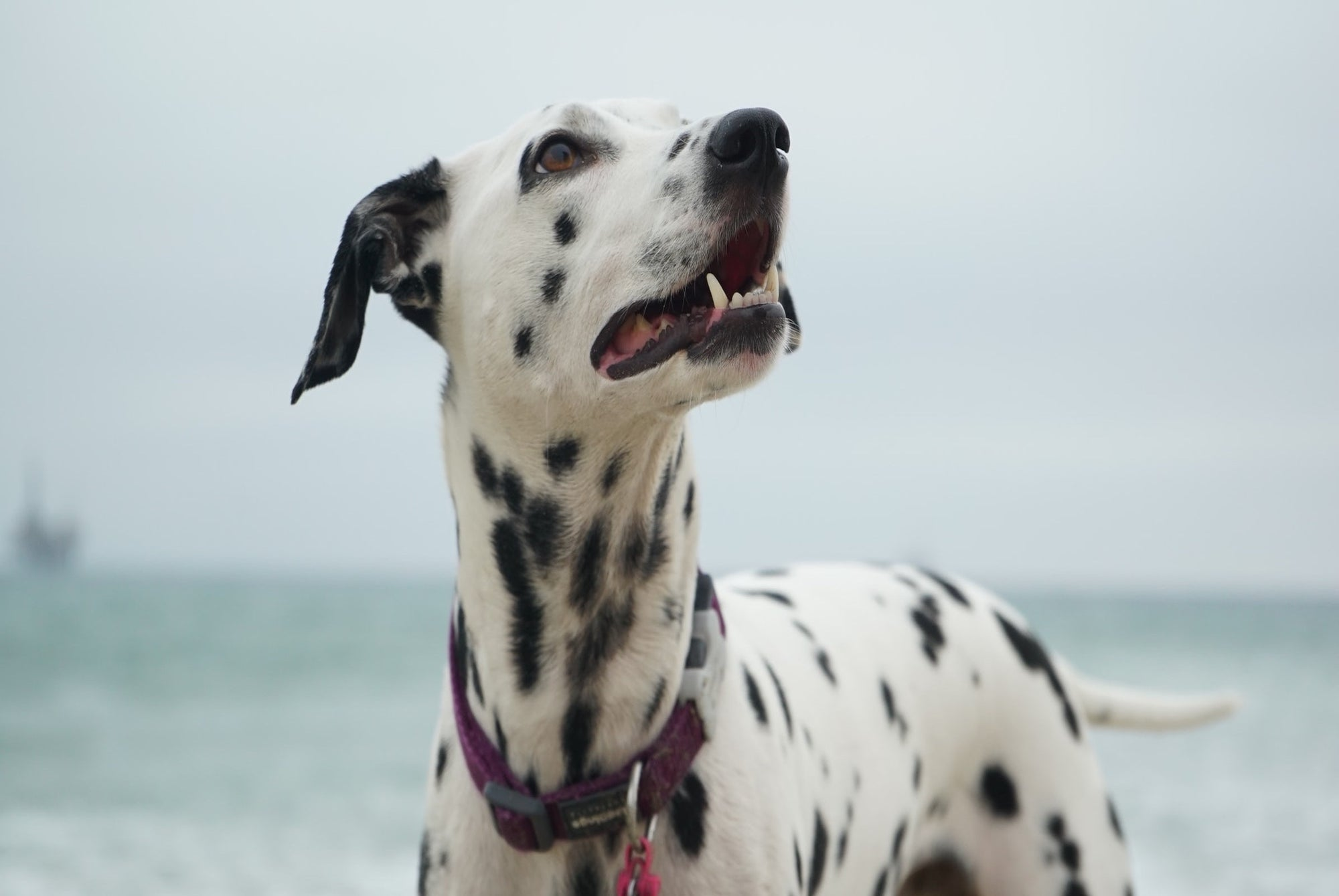 dalmatian-dog-on-the-beach-getting-ready-to-go-running