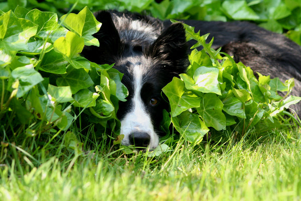 A Border Collie resting in shady grass and foliage with dappled sunlight.