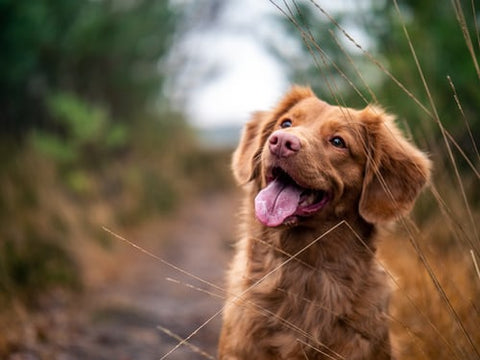 A brown dog with his mouth open panting sitting on a hiking trail near vegetation