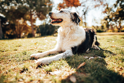 border-collie-resting-on-grass-near-forest-on-sunny-day