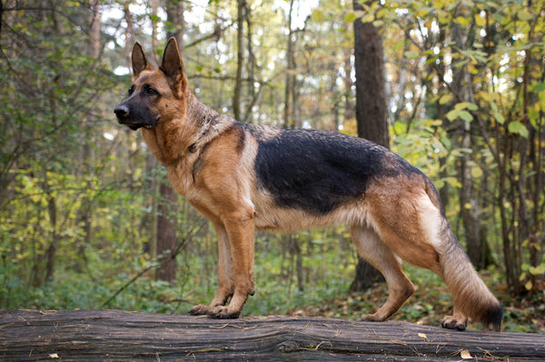 A purebred German Shepherd dog standing on a rock in a forest.