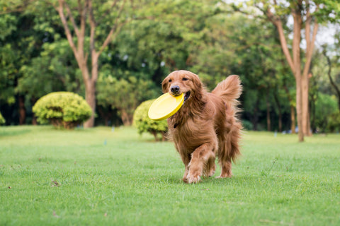 Golden-Retriever-running-and-playing-on-the-grass-carrying-a-frisbie