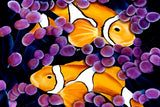 Clown Fish by deepa