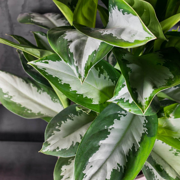 aglaonema diamond bay large closeup