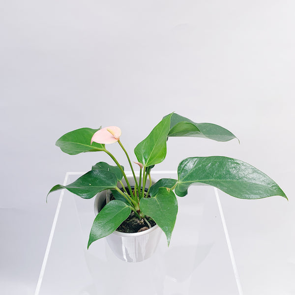 Mini Anthurium + Ceramic Pot