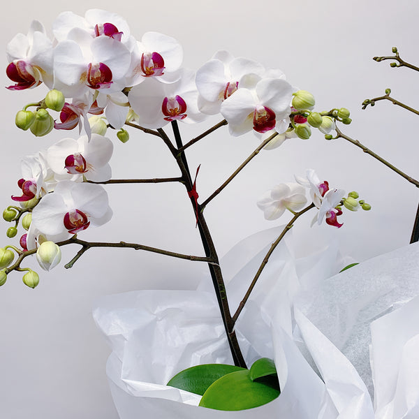 Wedding Gifts Auckland: White + Pinky Orchid Plant