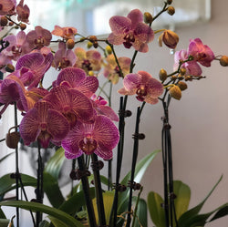 Coloured Orchid Plant