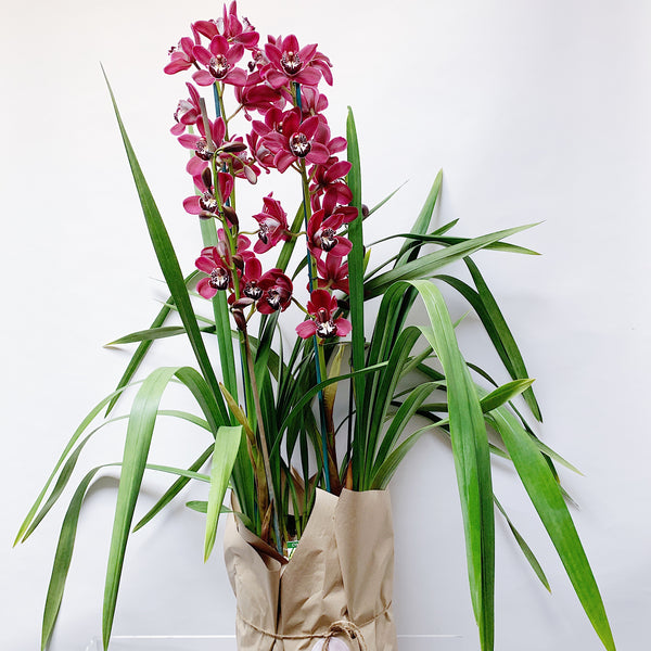 Large Cymbidium Plant