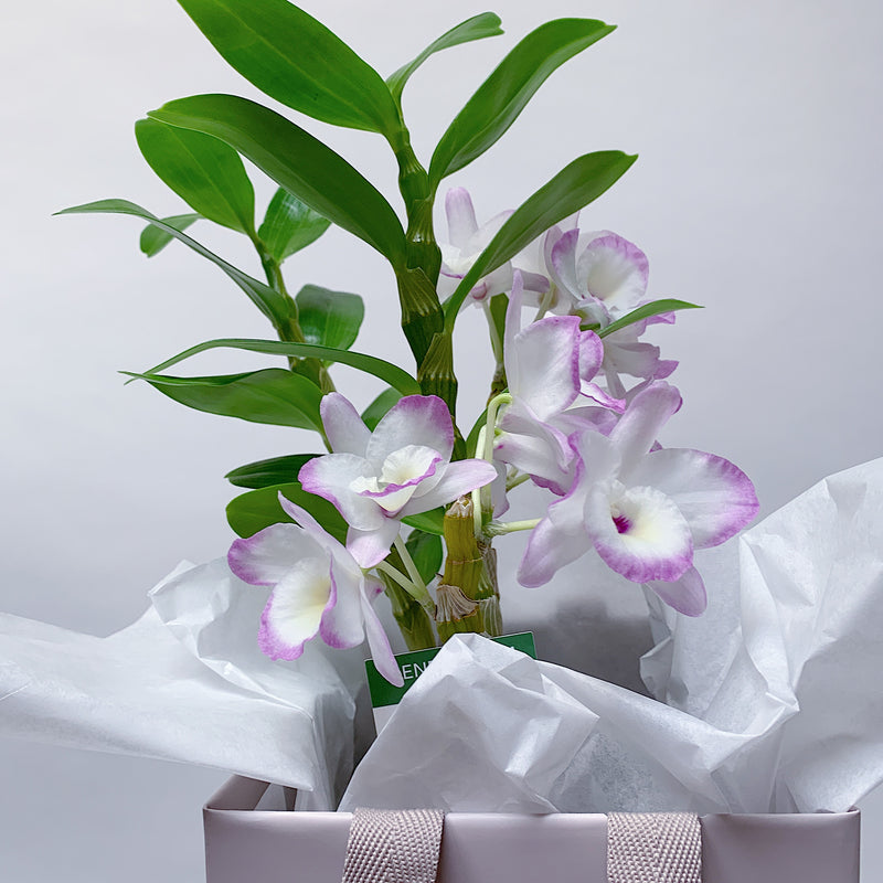 Dendrobium Nobile Orchid - Pink